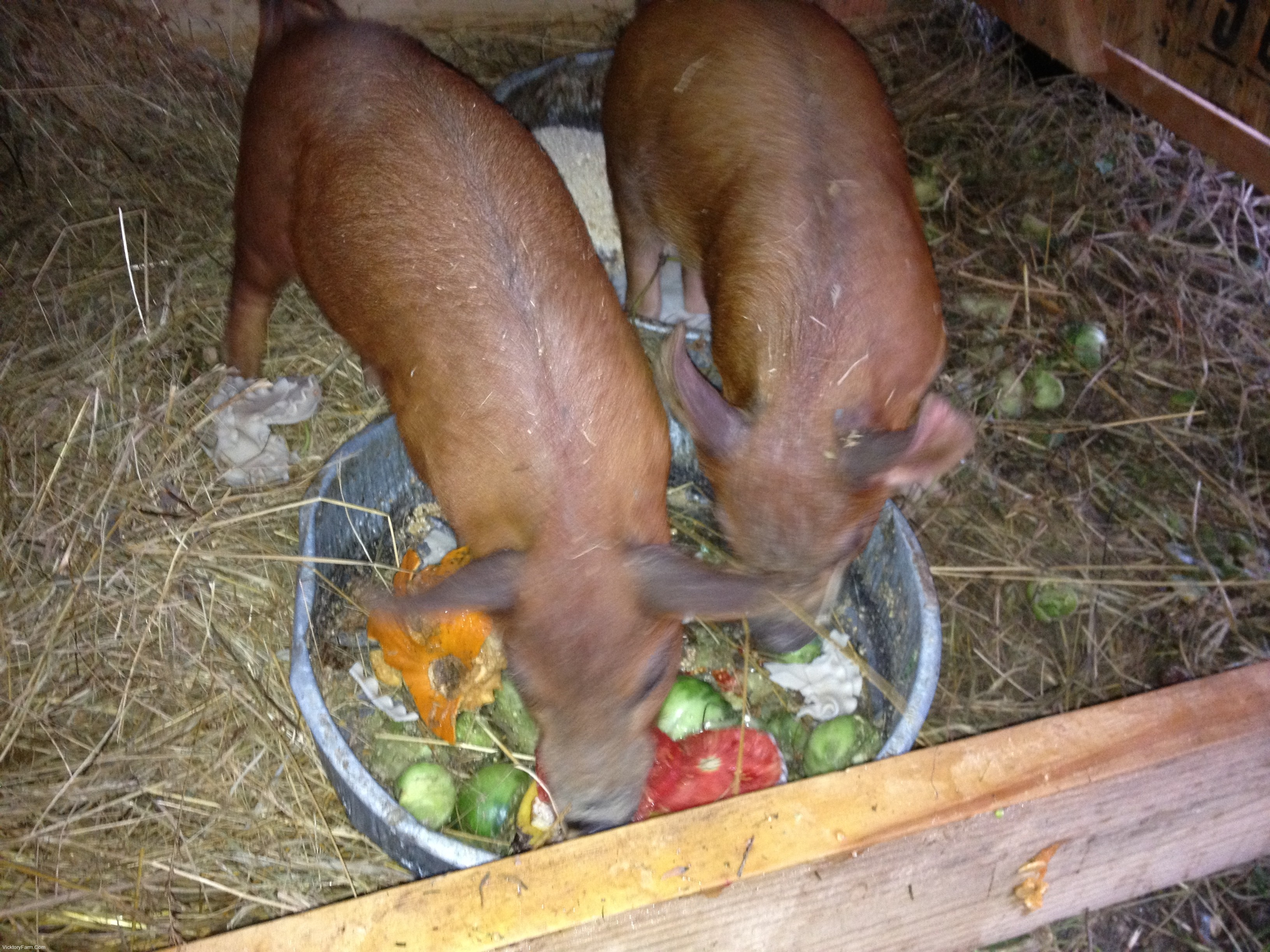 Pigs Vicktory Farm