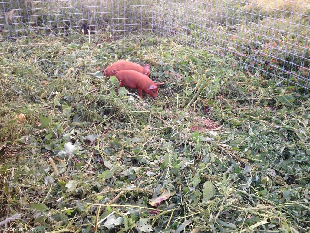 Pig Digs 2