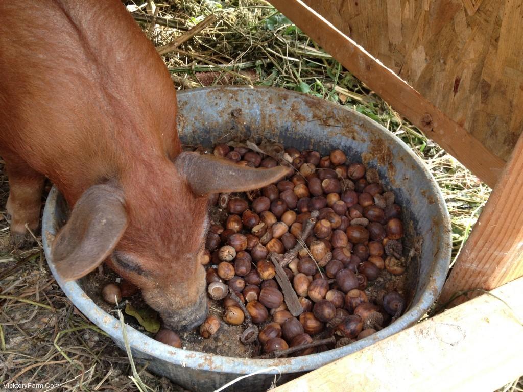Pigs and Acorns