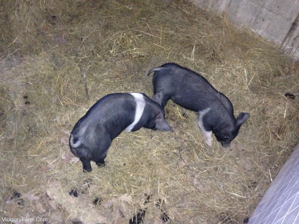 Pigs in the barn