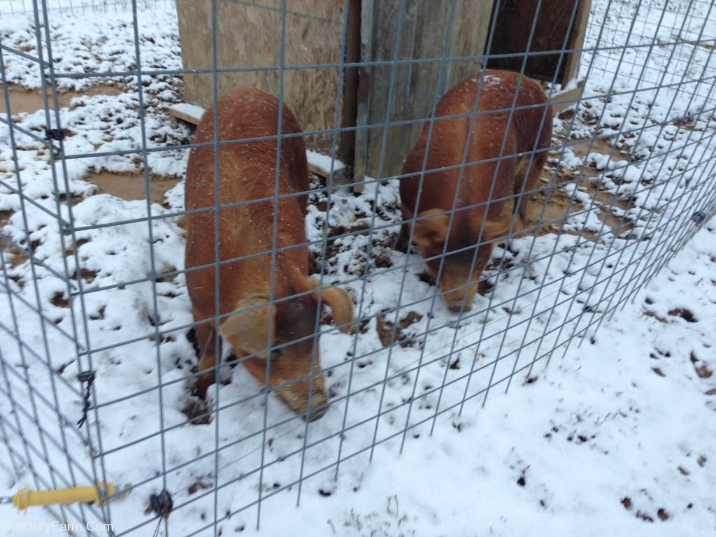 Snow pigs