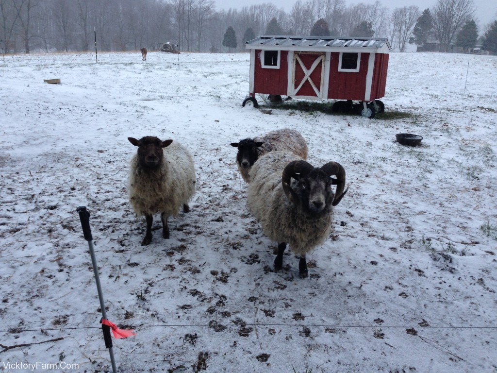 Sheep wait for a snack